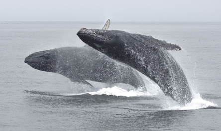 Breaching humpback whales - photo by Daniel Bianchetta