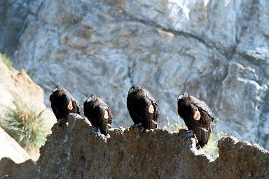 Condors Or4, Or9, Or12, Or99 - Ventana Wildlife Society