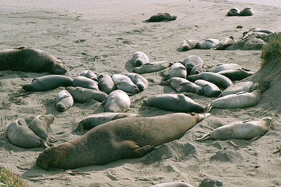 Elephant seal adults and pups on the beach