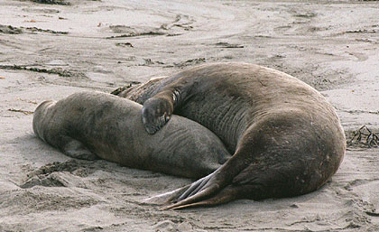 Elephant Seals cuddling on the beach