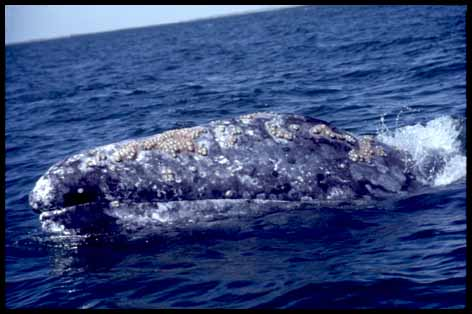 Gray Whale with barnacles, photo by Nancy Black, Monterey Bay Whalewatch